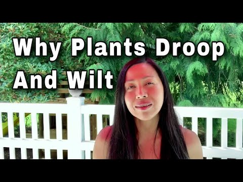 Why Are My Plants Drooping And Wilting?