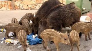 חזירי בר בחיפה (Wild pigs in Haifa)