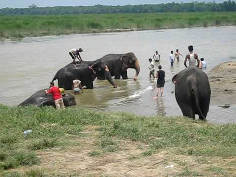 elephant bathing in Chitwan National Park, Nepal