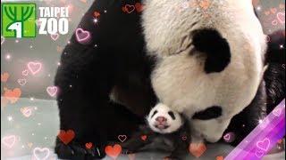 圓仔回到媽媽懷抱 Giant Panda Cub Yuan Zai Reunited with Mother Panda, Yuan Yuan (English Subtitle Available)