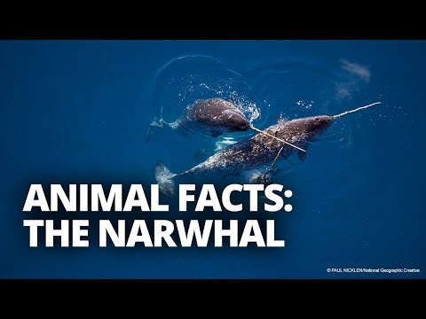 How large is a narwhal tusk? And 4 other narwhal facts