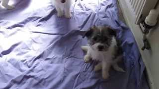Jackachon Puppies Playing