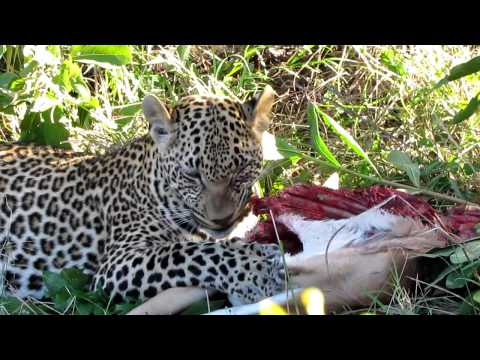 Leopard eating a female impala, South Africa