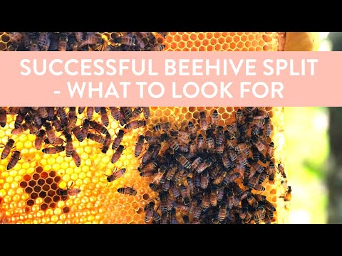 Beehive split WITHOUT a queen - how to know if it's been successful.