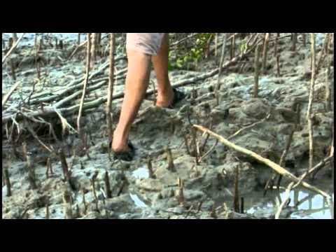 largest mangrove forest – Part 2.flv