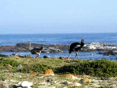 Wild Ostriches at Cape of Good Hope