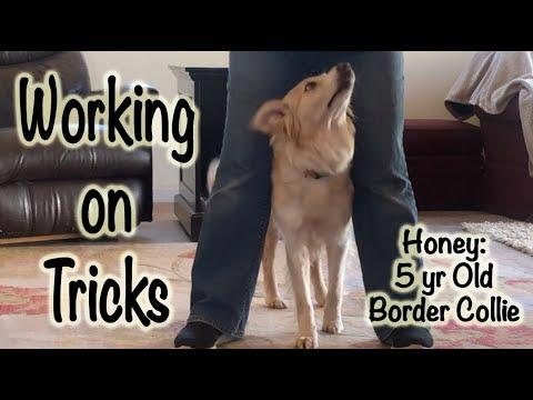 Honey: Working on a few Tricks - Dog Training