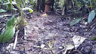 inhambuguaçu (Crypturellus obsoletus)