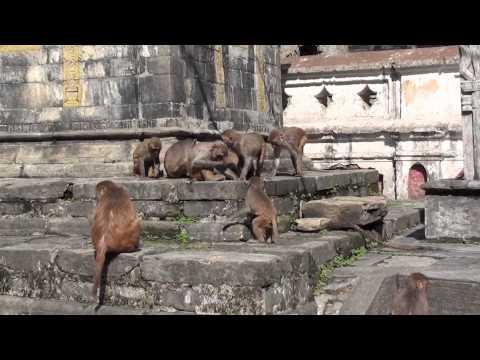 2011 May 21 – Monkeys at the Pashupatinath Temple, Kathmandu, Nepal