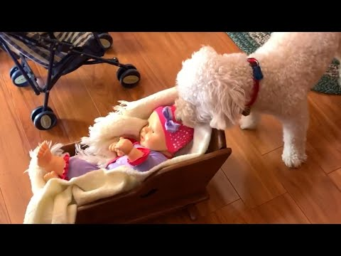 Dog Thinks Doll is Human Baby