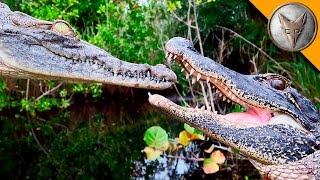 Alligator vs Crocodile! width=