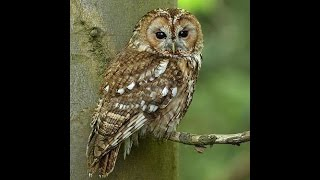 Two tawny owls hooting