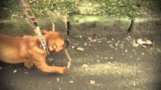 Pikelet learns to walk on leash (but must have a stick to carry at all times)
