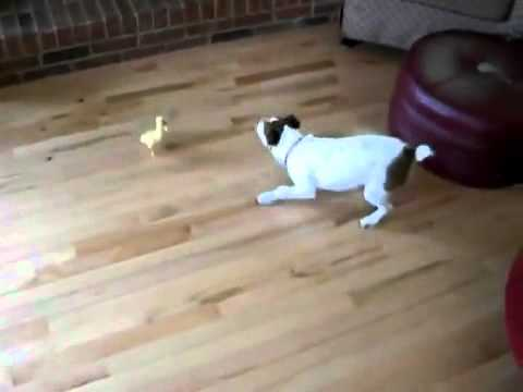 Duckling Bullies Dog