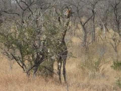 Żyrafy w Parku Krugera