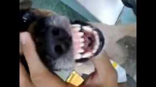 Cachorro falante