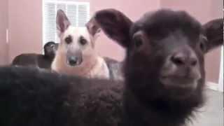 Lamb Saying Yeah Lil Jon Edition