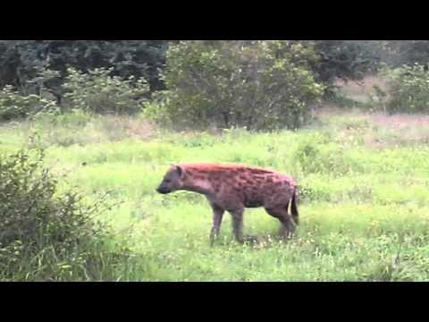 Jessie's Journeys – South Africa – Hyena