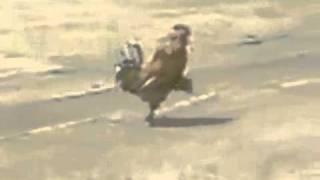 Gallo  Militar Desfilando / Gallo Marchando