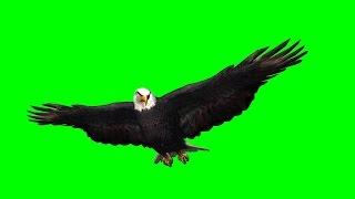 eagle in gliding 1 - green screen