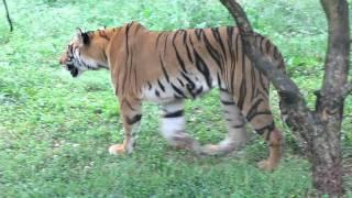 Royal Bengal Tiger Walking !!