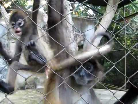 Shaking Hands and Tails with Monkeys in Nicaragua