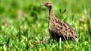 Canto dos pássaros - Codorna Amarela Nothura_maculosa