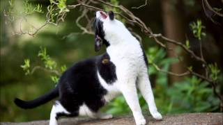 Cat Howling - Sound Effect