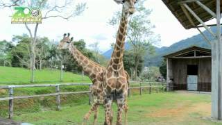 Girafa - Zoo Pomerode