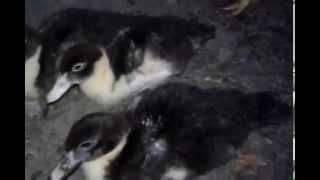 Filhotes De Pato Com 1 Mês e 12 Dias