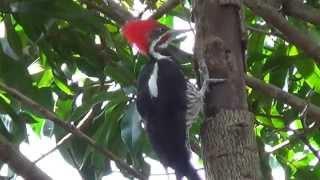 Pica pau de topete vermelho, Fauna brasileira, Natureza,