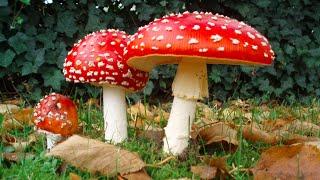 Mushrooms That Make Women Orgasm @Hodgetwins