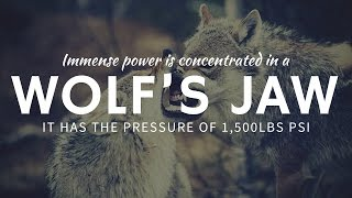How Strong is a Wolf's Jaw and Bite Force?