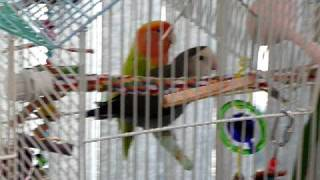 Lovebirds mating