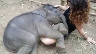 Baby Elephant Sleeps in Woman's Lap While She Sings Lullaby