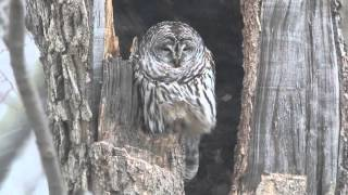 Barred Owl in Winter Storm