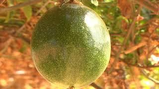"""Maracujá """"Pérola do Cerrado"""" tem preço 5x maior por quilo do que a fruta tradicional"""
