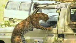 Why You Never Poke An Angry Wild Leopard With A Stick Or This Might Happen To You
