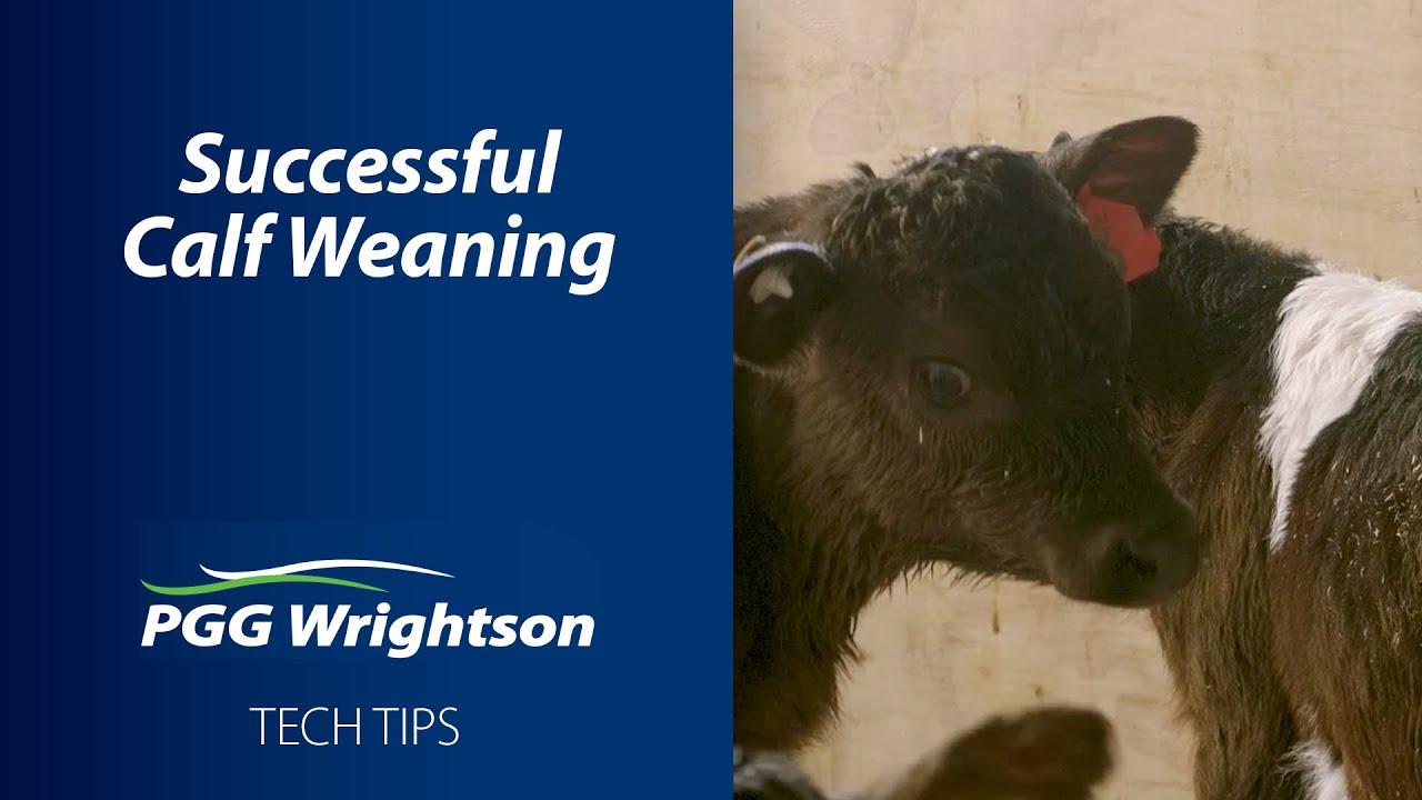 Successful Calf Weaning