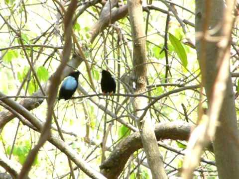 Saltarin Toledo – Long-tailed Manakin en Nicaragua