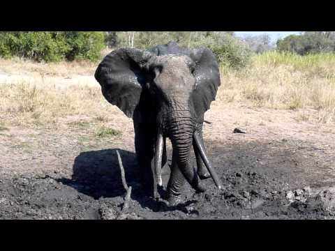 Old Male Elephant Sprays Himself With Mud Part 2 – Mala Mala, South Africa