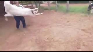Pinshi vaca loca