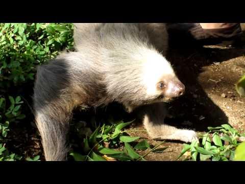 Sloth in Masaya