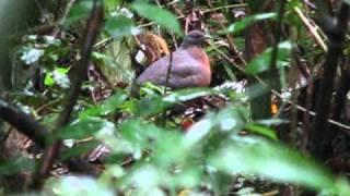 Inhambu-Guaçu Femea.Caçadores de Imagens