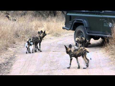 Wild dog sighting at Sabi Sabi!