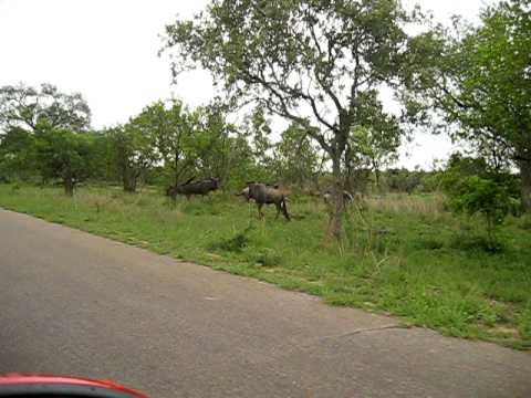 South Africa Kruger Park – wildebeest crossing the road