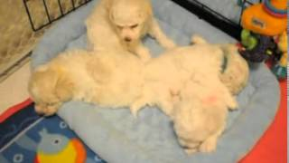 Bichon Frise Purebred Female Puppy~~LIVE WEBCAM~~