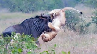 Wildebeest Hooks Lion by Leg as it Tries to Escape!