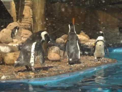 Pingwiny w oceanarium w Durbanie