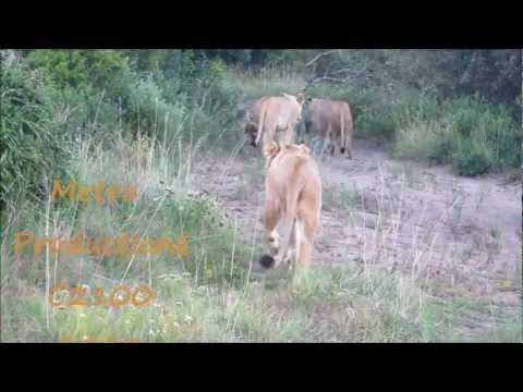 Lions and cubs on the move
